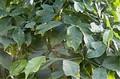 Гнетум, голосеменное растение, имеющее сосуды в проводящей системе