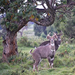 Mountain nyalas in Bale Mountains National Park, one of several wildlife reserves in Ethiopia