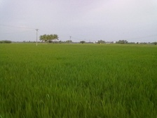 A Paddy field in Regunathapuram Village of Pudukkottai district