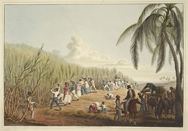 Slaves cutting the sugar cane, British colony of Antigua, 1823