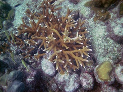 Staghorn coral (Acropora cervicornis) on Looe Key