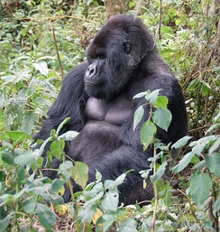 There are roughly 880 mountain gorillas remaining in existence. 60% of primate species face an anthropogenically driven extinction crisis and 75% have declining populations.[110]