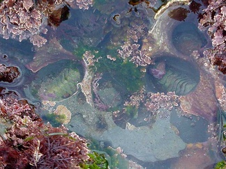 Seaweed and two chitons in a tide pool.