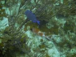 A Blue Tang and a Squirrelfish in Princess Alexandra Land and Sea National Park, Providenciales