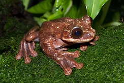 Toughie, the last Rabbs' fringe-limbed treefrog, died in September 2016.[200] The species was killed off from the chytrid fungus Batrachochytrium dendrobatidis[201]
