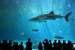 Aquarium photograph of a whale shark in profile with human-shaped shadows in foreground