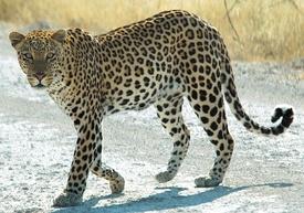 Namibie Etosha Leopard 01edit.jpg