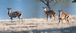 Nyalas choose habitat with fresh water sources nearby.
