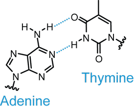 Depiction of the adenine–thymine Watson–Crick base pair