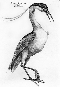 Drawing of a grey heron, after Raimondo Manzini, published in Danubius Pannonico-Mysicus, vol. 5.