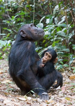 Common chimpanzee infant and mother