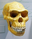 The skull of Homo Erectus; note the large teeth.