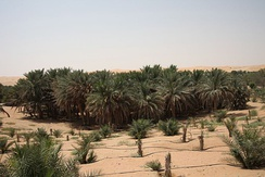 Date palm trees in Liwa Oasis