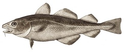 Lateral line on an Atlantic cod