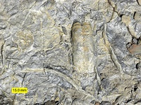 Cambrian trace fossils including Rusophycus, made by a trilobite