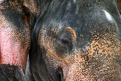 Depigmented skin on the forehead and ears of an Asian elephant
