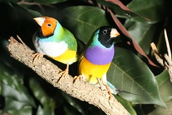Like these male (right) and female Gouldian finches (Erythrura gouldiae), many Passeroidea are very colorful