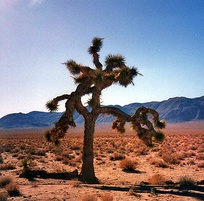 "The tree pictured on The Joshua Tree album sleeve. Adam Clayton said, ""The desert was immensely inspirational to us as a mental image for this record.""[102]"