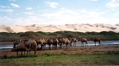 Bactrian camels by sand dunes in Gobi Desert.