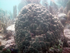 Boulder star coral (Montastraea annularis) on Molasses Reef