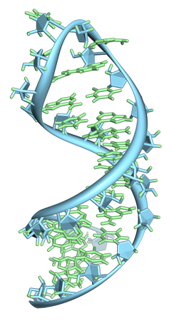 A hairpin loop from a pre-mRNA. Highlighted are the nucleobases (green) and the ribose-phosphate backbone (blue). Note that this is a single strand of RNA that folds back upon itself.