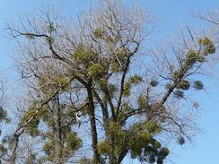 Деревья, поражённые омелой.