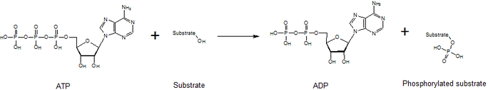 General reaction that is catalyzed by kinases