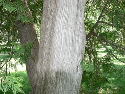 Bark of the northern white cedar