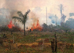 Burning forest in Brazil. The removal of forest to make way for cattle ranching was the leading cause of deforestation in the Brazilian Amazon rainforest from the mid-1960s. Soybeans have become one of the most important contributors to deforestation in the Brazilian Amazon.[69]