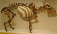 Flat-headed peccary remains of the extinct mammal were found in the Sheriden Cave site