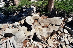 The stump of a very old bristlecone pine. Tree rings from these trees (among others) are used in building calibration curves.