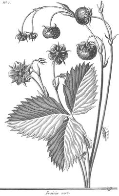 Fragaria viridis. Duch.[9]