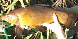 Tench are common freshwater fish throughout temperate Eurasia.