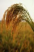 Рис возделывают в странах с тёплым, влажным климатом, например, в Китае