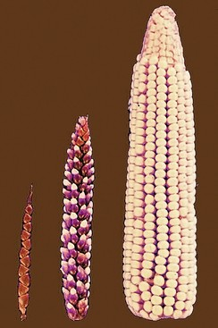 Selective breeding transformed teosinte's few fruitcases (left) into modern maize's rows of exposed kernels (right).