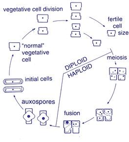Жизненный цикл пеннатных диатомовых
