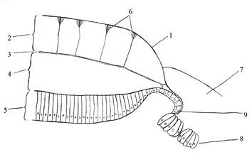 Схема строения края раковинной пластинки хитонов: 1— периостракум; 2— тегментум; 3— прослойка живой ткани; 4— артикуломентум; 5— наружный эпителий под раковинной пластинкой; 6— эстеты; 7— кутикула; 8— наружный эпителий под кутикулой; 9— место секреции периостракума.
