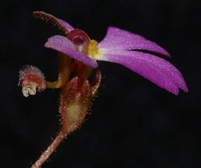 Flower of Stylidium turbinatum, showing the column.