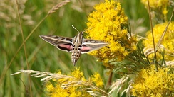White-lined sphinx moth feeding in flight