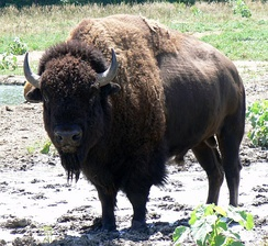 A bison bull on a Nebraska wildlife refuge