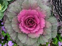Сорт с пурпурной окраской листьев