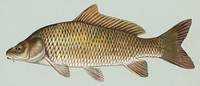 Carp are one of the dominant fishes in aquaculture[90]