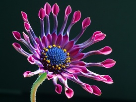 Osteospermum 'Pink Whirls' A cultivar selected for its intriguing and colourful flowers