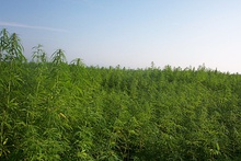 Industrial hemp production in France