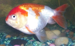 Goldfish are popular pets that descended from carp