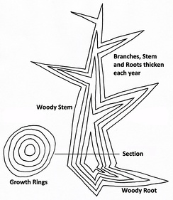 Diagram of secondary growth in a tree showing idealised vertical and horizontal sections. New wood is added in each growth season by the lateral meristems, the cork cambium and vascular cambium.