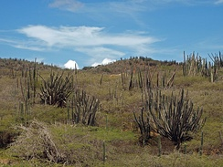 Cacti in Arikok National Park