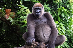 Cross River gorilla, a critically endangered species in Afi River Forest Reserve