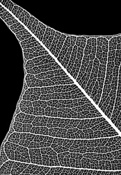 Micrograph of a leaf skeleton