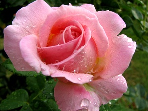 A pink rose in the rain.